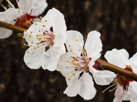 Close-up view of branch of apricot tree in the period of spring flowering with tree trunk on the background. Shallow depth of field. Selective focus on flowers. Stock fotó