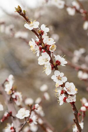 Branch of apricot tree in the period of spring flowering with blurred orchard on the background. Shallow depth of field. Selective focus on flowers.