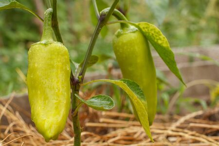 Bell pepper with water drops growing on bush in the garden. Dry grass on the background. Bulgarian or sweet pepper plant. Shallow depth of field Stock fotó