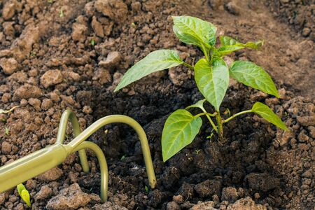 Loosening soil around young bell pepper bush using small hand garden rake. Growing vegetables in home condition.