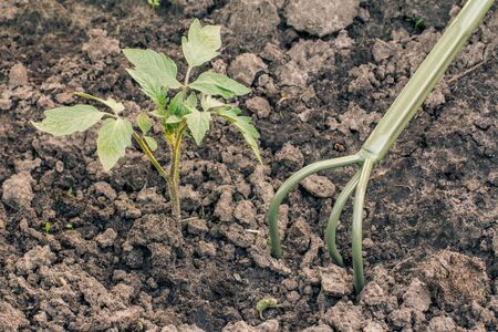 Farmer is loosening soil around young bell pepper seedling using small hand rake. Top view. Growing vegetables in home condition.