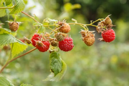 Close-up view of bush with ripe and unripe raspberries in the fruit garden with blurred natural background. Shallow depth of field. Stock fotó