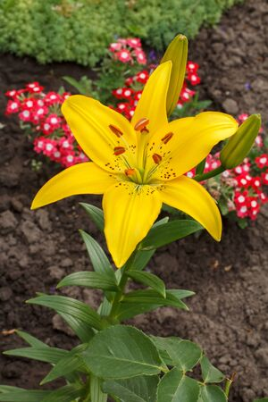 Yellow lily flower in the summer garden with blurred plants and flowers on the background. Shallow depth of field. Focus on the lily. Top view.