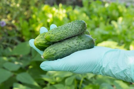Hand of gardener in latex glove holding fresh ripe cucumbers with green natural background. Summer harvesting of vegetables in the garden.