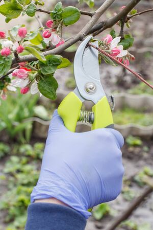 Farmer looking after the garden. Spring pruning of fruit trees. Woman with a pruner shears tips of an apple tree.