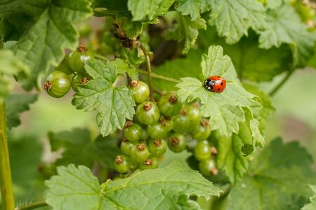 Branches of black currant with immature berries and a ladybug on a leaf with blurred natural background. Garden in sunny day.