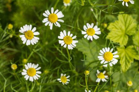 Flower of chamomile in the garden with blurred same flowers in the background. Top view. Shallow depth of field. Natural background. Banque d'images
