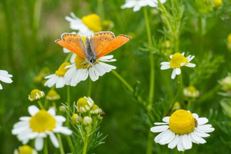 Close-up an orange color butterfly sitting on a chamomile flower in sunny day with a natural green background. Shallow depth of fiel. Banque d'images