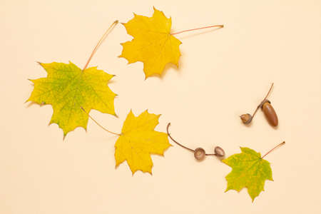 Acorns and dry yellow maple leaves on the beige background. Top view. 版權商用圖片