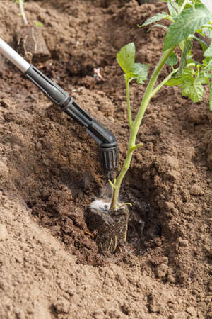 Gardener treatmenting roots of tomato seedlings from diseases and pests before planting in the ground using pressure sprayer. Cultivation of vegetables.