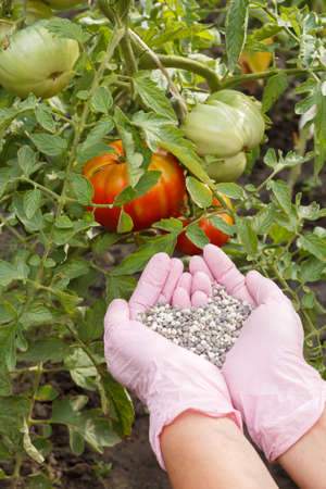 Farmer hands in nitrile gloves hold chemical fertilizer to give it to tomato bushes growing in the garden.