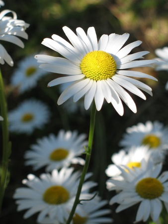 chamomile flower: Chamomile in field