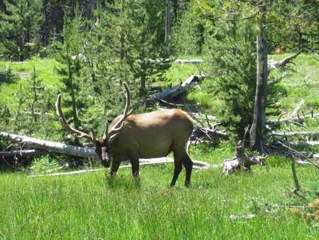 Elk looking up from grazing in a clearing