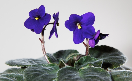 Violet flowers with green leafs on white background Stock Photo