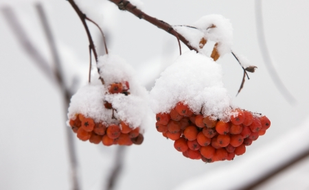 A bunch of ash berry under snow in winter Stock Photo