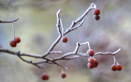 A branch of wild ashberry with frozen berry photo