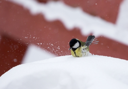 A bird gets bath in the snow in winter Stock Photo - 17012857