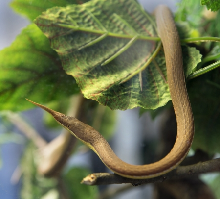 A snake at a terrarium in a zoo, langaha madagascariensis photo