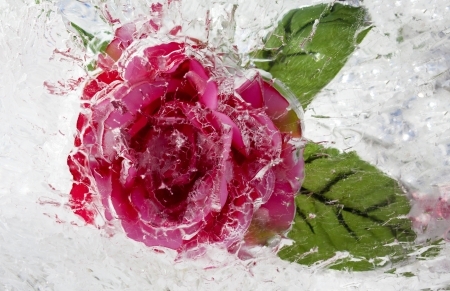 A frozen rose inside ice photo