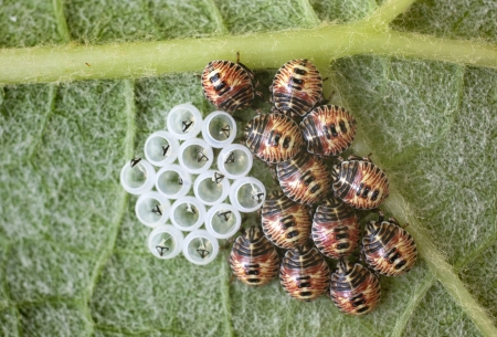 Bugs with their eggs on a grape leaf