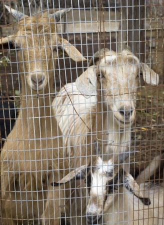 A goat family inside a coop