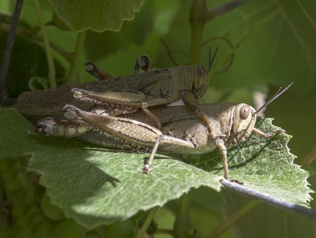 Grasshoppers on a grape leaf