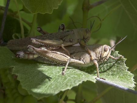 Grasshoppers on a grape leaf