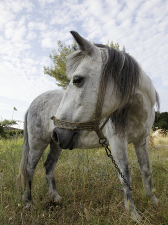 A white horse on a grass