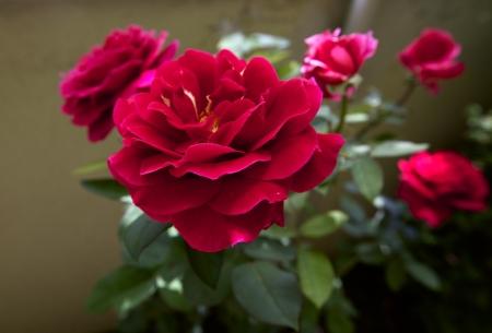 A bush of a fresh red rose