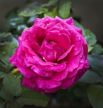 A fresh rose with the rain drops