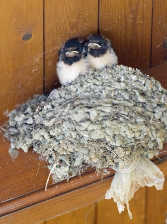 Two baby swallows sit on a nest