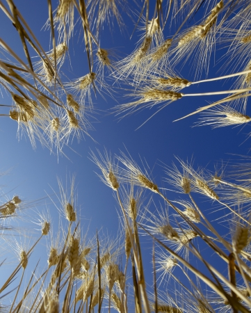 Grain field with blue sky in background