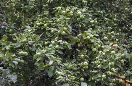 An apple tree full with fruit