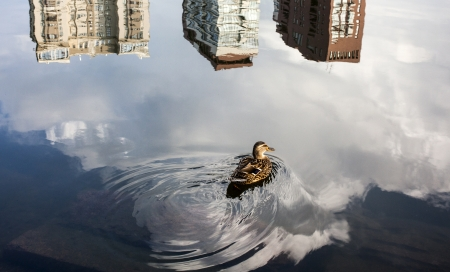 A duck swims in a pond in Moscow