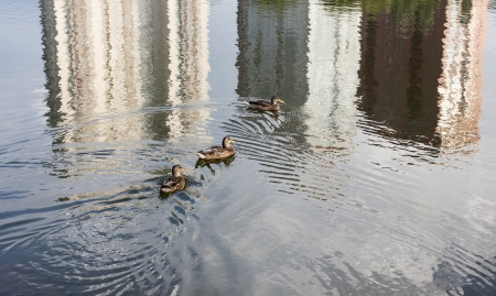 Ducks swim in a pond in Moscow