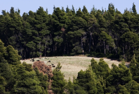 a large group of sheeps walk in a forest