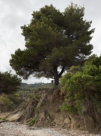 A pine free near a beach in Greece Stock Photo