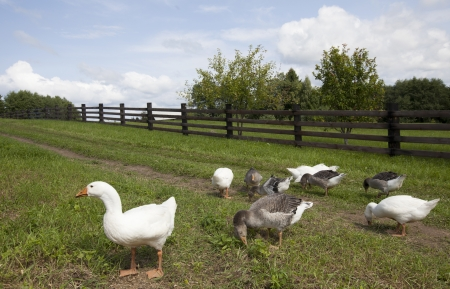 Ducks eat  grass in a farm in a village in Russia Stock Photo