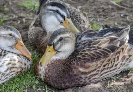 Ducks rest on a ground in a village in Russia Stock Photo