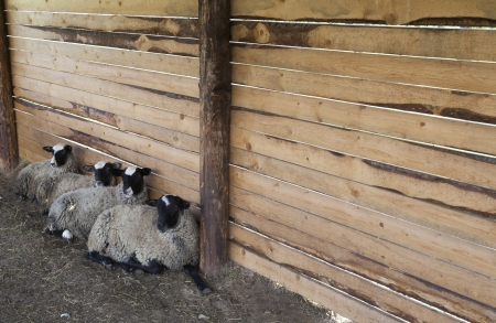 Sheep rest in a tent Stock Photo