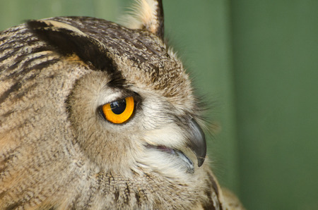 sideview: An owl, sideview