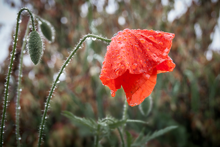 Wet from the rain poppy flower bowed the head, symbolizes sadness