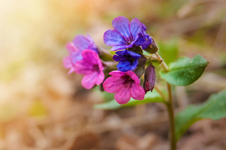 Early spring in the forest grow flowers of the pulmonary, blurred background Stock Photo