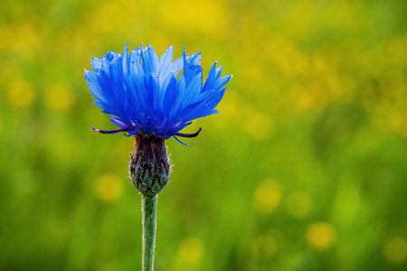 the flower of the cornflower growing in the field, on a blurred green background
