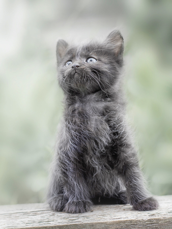 little cute gray furry kitten sitting on blackboard and looking up Stock Photo