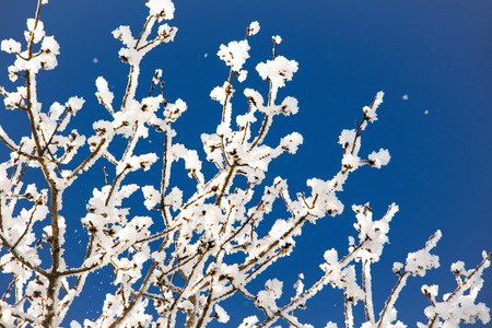 branches of a tree covered with hoarfrost, against a blue sky, a sunny winter day