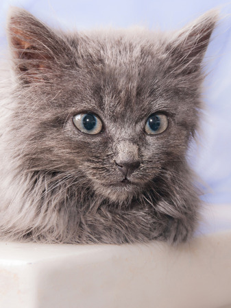 portrait of a small gray kitten with a sweet trusting gaze
