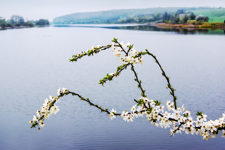 blooming cherry branch against the background of the river, spring day