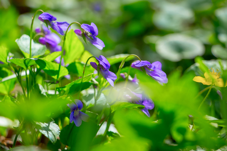 flowers of violets in the forest among the greens, a fine spring day Stock Photo - 96067256