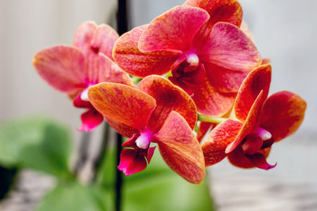 red orchid flowers create home comfort, close-up